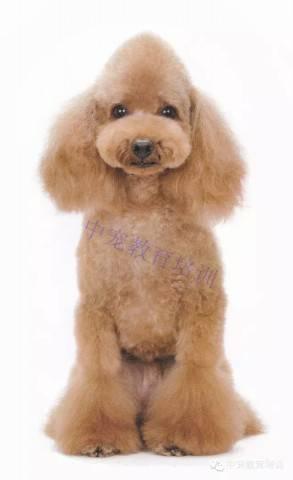 泰迪狗唯美手绘图片